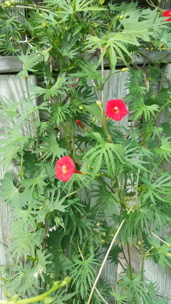 Red Flowers and foliage of the Cardinal Climber, Sept 2014