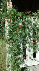 Flowers of Cardinal Climber, Sept 2014