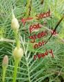 Cypress Vine Seeds