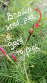 Cypress Vine Seeds