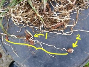 Sedge Plant Parts