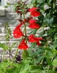 Red Salvia Flowers