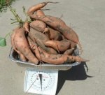 Sweet Potatoes Harvested October 2014