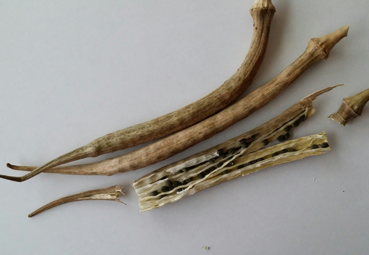 Unopened and Opened Okra Pods