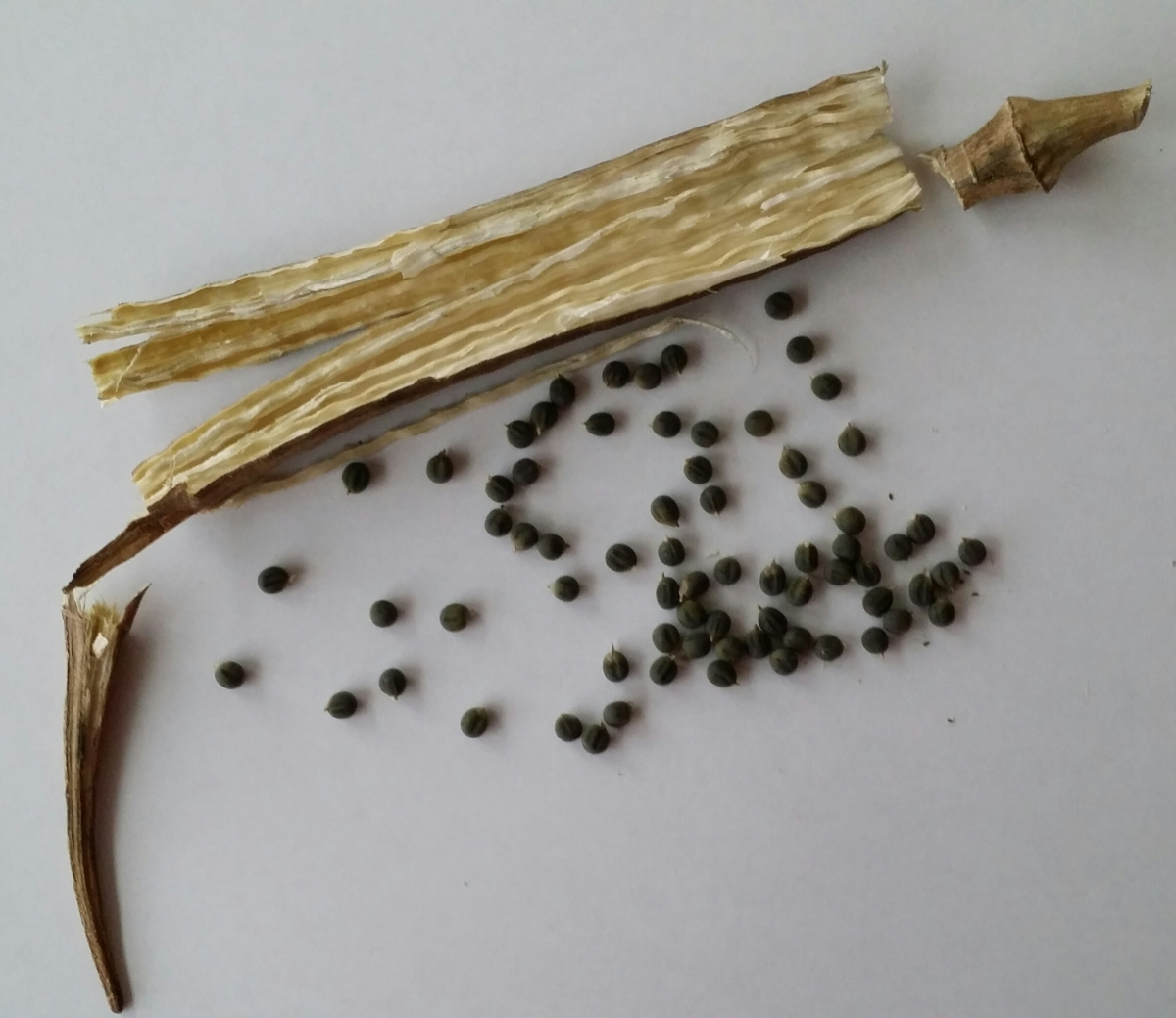 Okra Seeds Removed from Pods