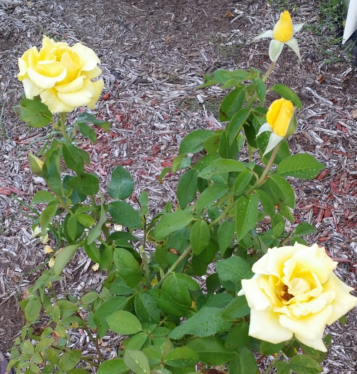 'Grandma's Yellow' Rose, Oct. 2014