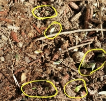 Sprouting Daffodils before topping off with mulch