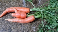 Freshly Pulled Carrots! March 7, 2015