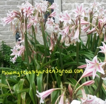 Milk and Wine Crinum, May 22, 2015