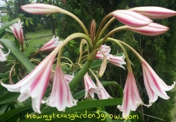 Milk and Wine Crinum, May 27, 2015