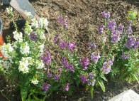 Purple Flowers and White Flowers on the Angelonia Plant