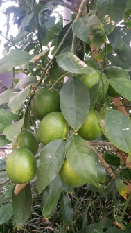 Meyer Lemons nearly ripe