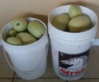 Two 5-gallon buckets of Spaghetti Squash Harvest, Nov 21, 2015
