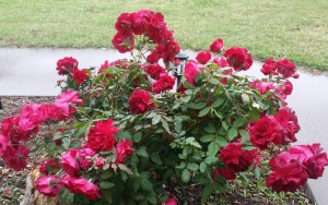 Valentine rose in full bloom with more rose petals than leaves