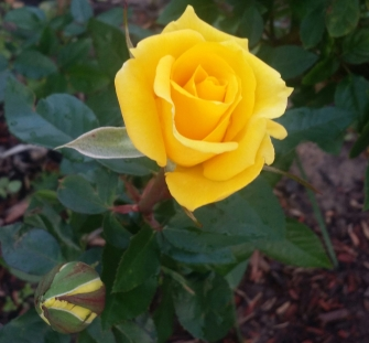 Newly opened flower of Grandma's Yellow Rose