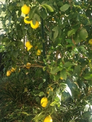 Fully Ripened Meyer Lemons, Dec 23, 2015