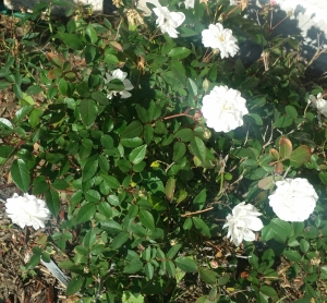 "Small white flowers of the ""White Pet"" rose"