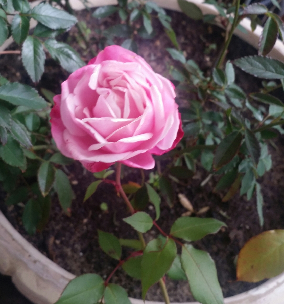 Pink rose with white accents