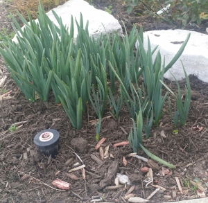 Daffodil foliage emerging, Feb 14, 2016