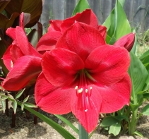 Red blooms of Amaryllis