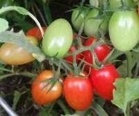 a grape-like cluster of Roma shaped cherry tomatoes