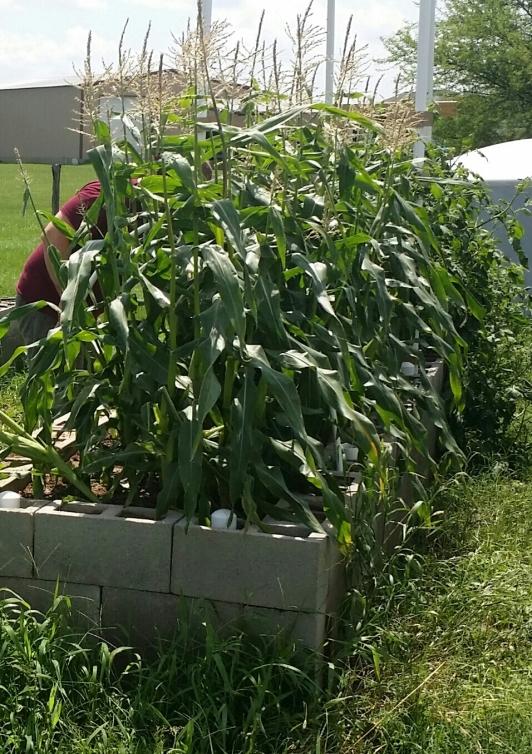 Sweet Corn Ready to Harvest