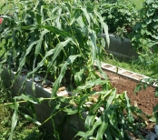 Some Corn Plants Removed, Soil Open