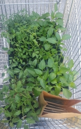 Tomato plants and seed packets in shopping cart.