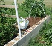 Open soil where corn plants were removed.