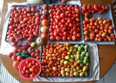 A total of 4 cookie sheets worth of Tomatoes sorted by ripeness.