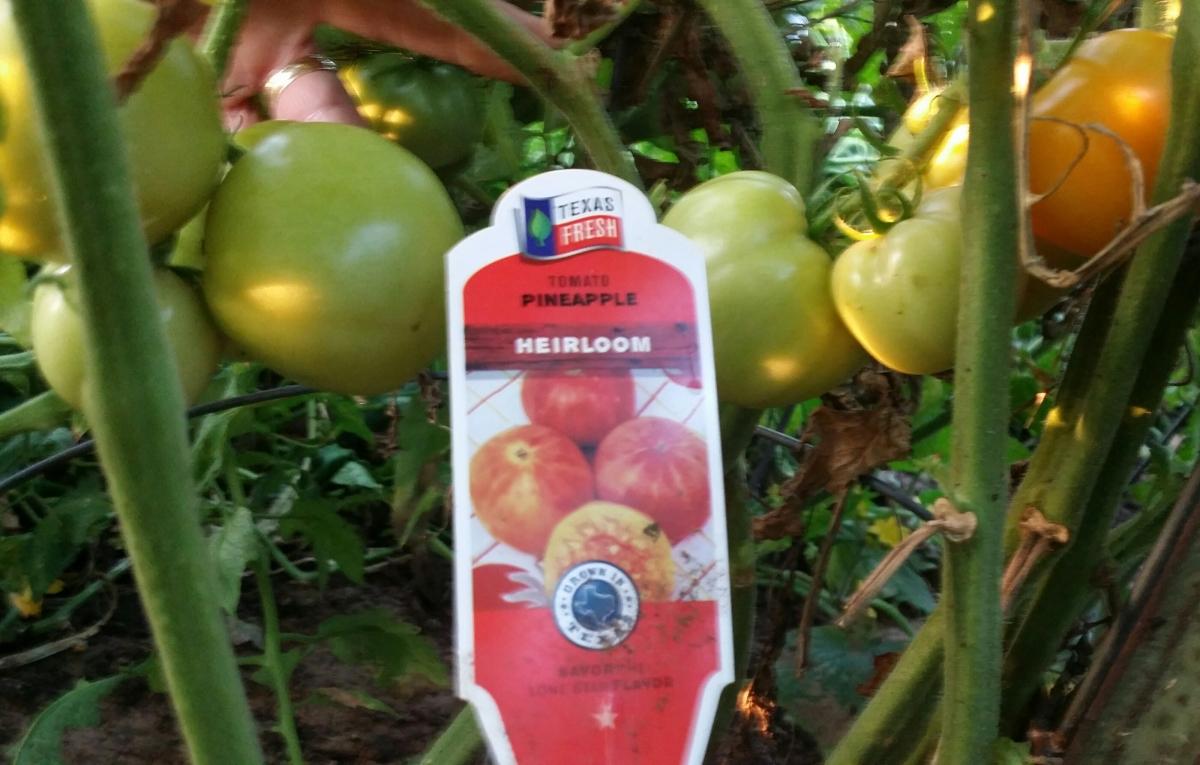 Pineapple, Heirloom Tomato