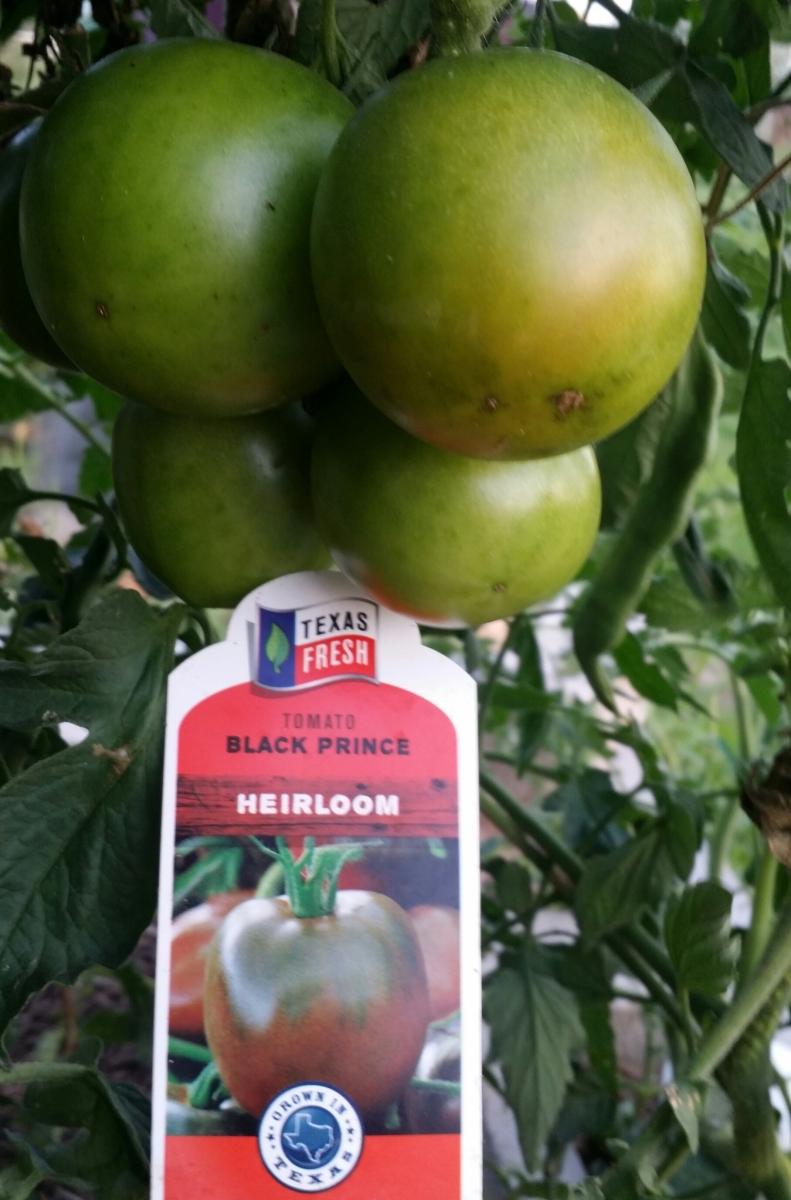 Black Prince, Heirloom Tomato