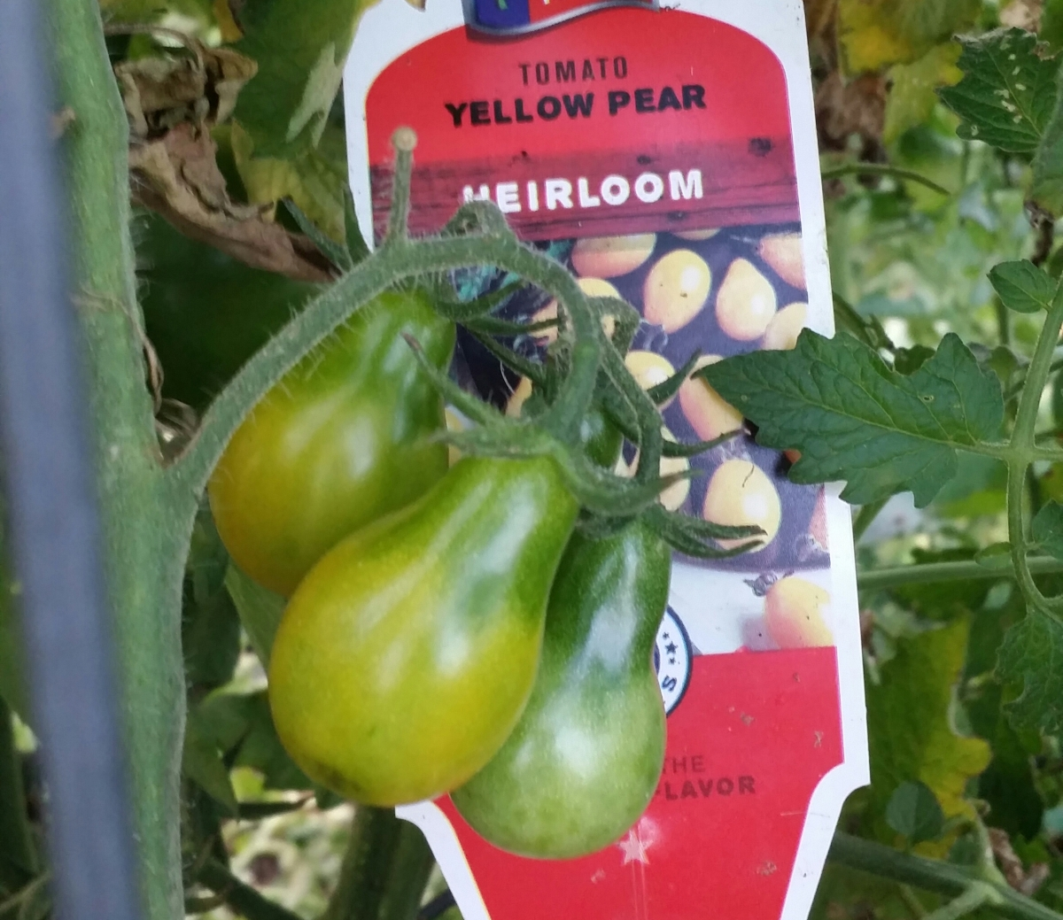 Yellow Pear, Heirloom Tomato