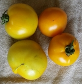 Yellow Lemon Boy and Orange Pineapple Heirloom Tomatoes