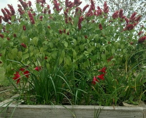 Blooming Oxblood Lilies and Shrimp Plant