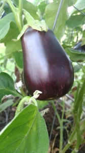 Dark purple Eggplant fruit.