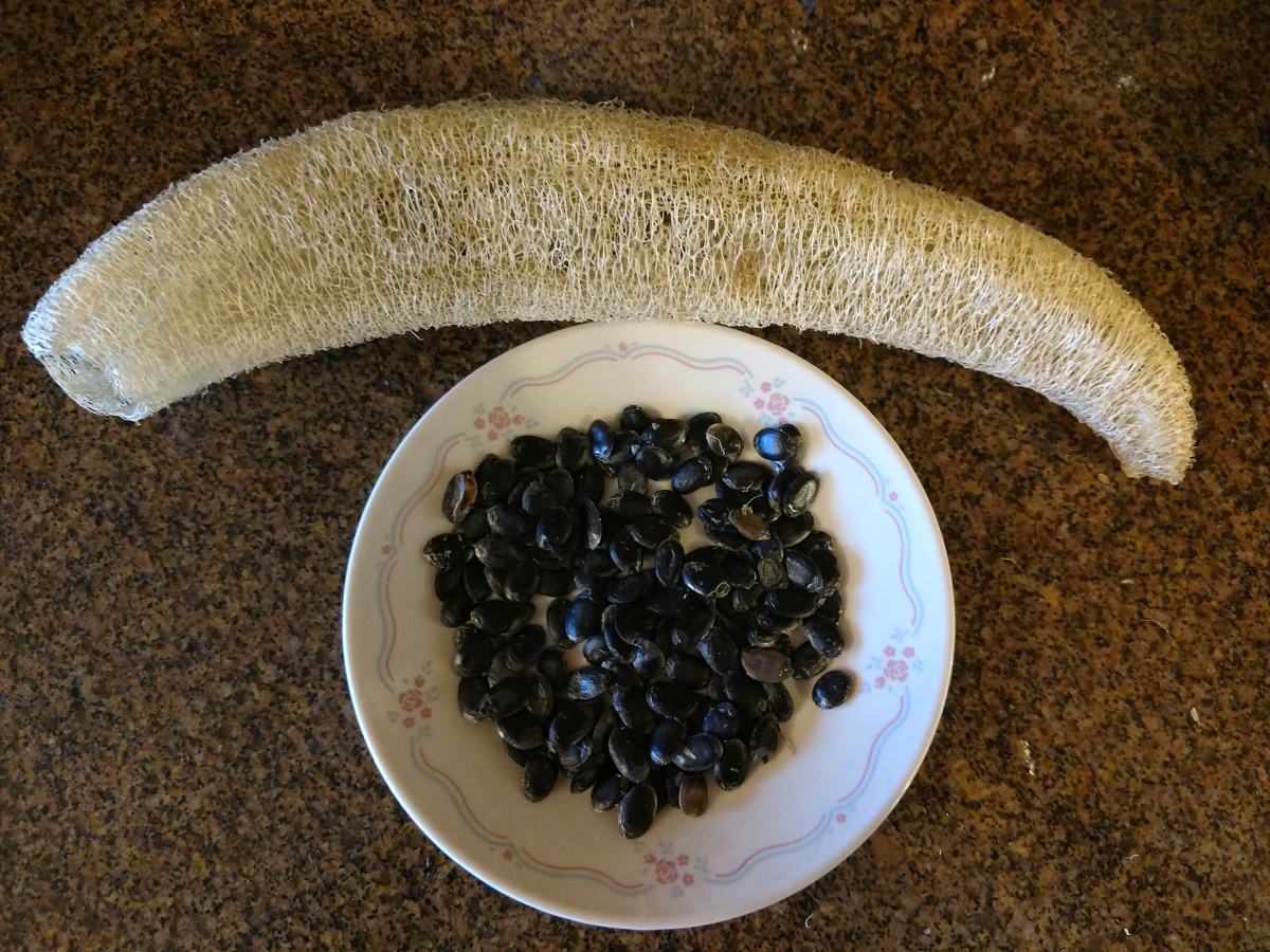 About 50 dark colored seeds removed from a single Luffa sponge.