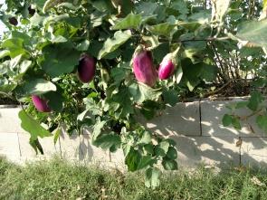 eggplant 0316 var Rosita rareseeds
