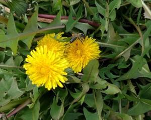 Bee with pollen on Dandelion