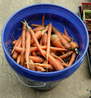 5-gallon bucket filled with freshly picked carrots