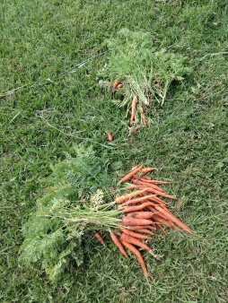 Larger and smaller carrots sorted on the ground, in the grass.