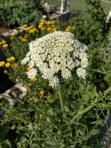 Tiny white clusters of Flowers on carrot stalk.