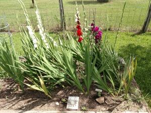 Wind Blown Gladiolas Growing