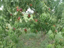 Ripe Peaches still on the tree, July 3, 2018