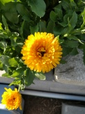 Calendula officinalis, yellow flowers with green foliage